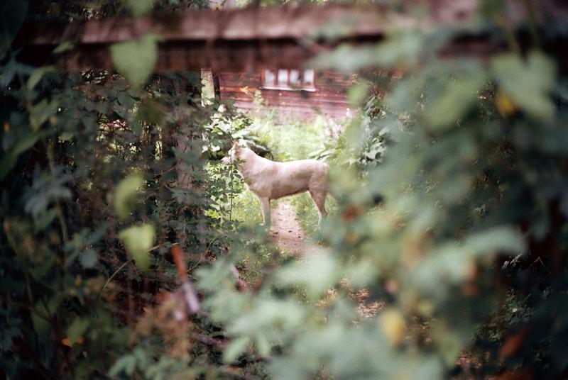Белая собака отвернула морду от фотографа в саду