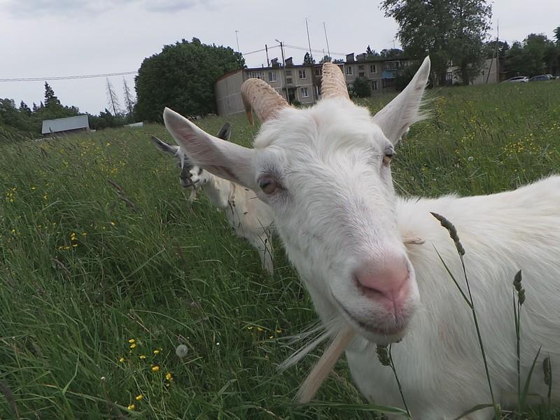 Любопытные козы деревни Тараканово