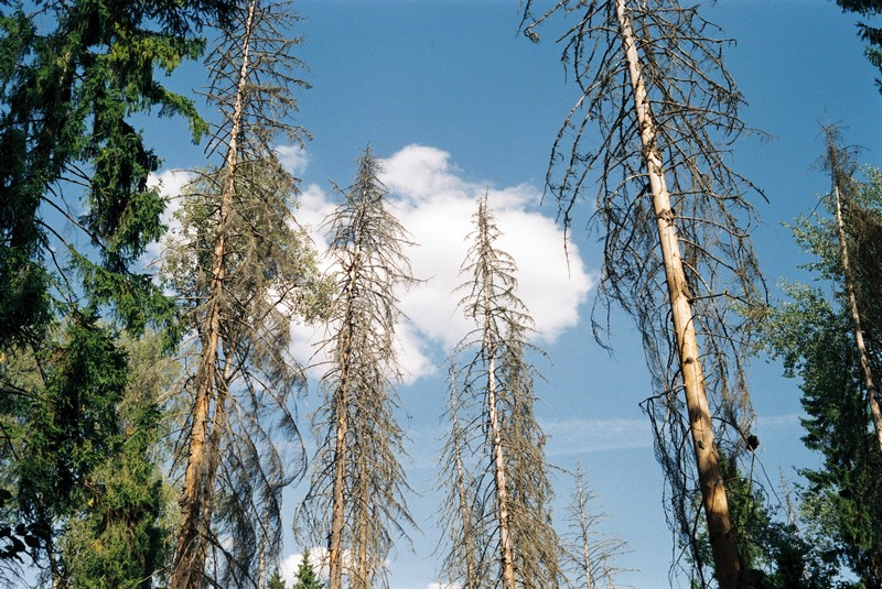 Мертвый лесной массив в Талаево