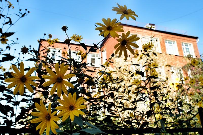 Желтые цветы во дворе одного из московских двориков
