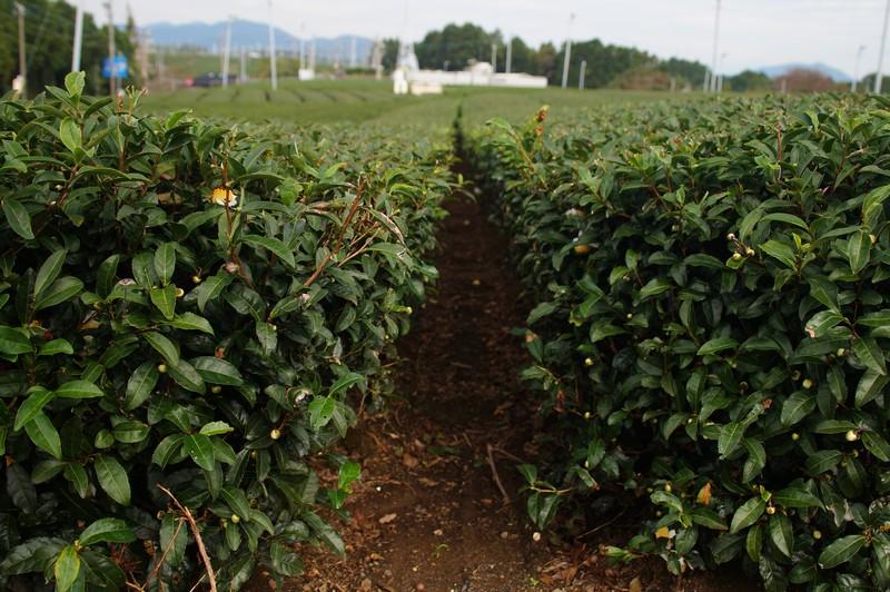Чайная плантация Маруэй в октябре, Авагатаке, Сидзуока (Awagatake, marei-seicha, shizuka)