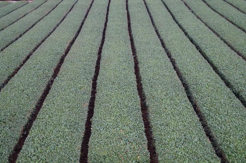 аккуратные чайные плантации Авагатаке, Сидзуока (Awagatake, shizuoka green tea)