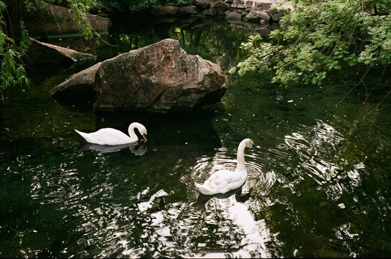 Лебеди Ливадийского парка недалеко от Ялты