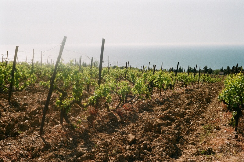 Крымские виноградники на фоне чёрного моря